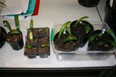 Shige-seedlings