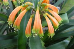C. gardenii - Rae Begg