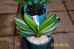 Chinese-Variegated-Miniature-01