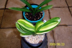 Chinese-Variegated-Miniature-02