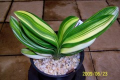Chinese-Variegated-Miniature-02a