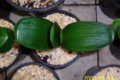 Miniature-Malian-hybrid-03
