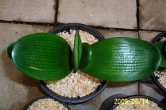 Miniature-Malian-hybrid-12