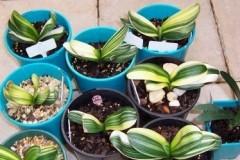 Variegated-Daruma-seedlings-2