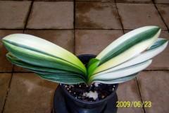Variegated-Guo-Lan-seedling