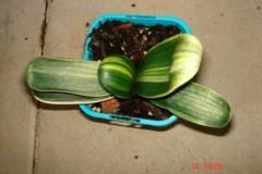 Variegated-LOB-seedling