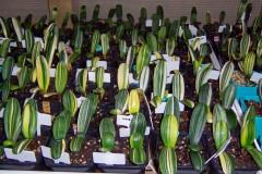 Variegated-hybrid-seedlings-03