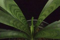 1-Tiger-variegation