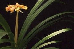 2-miniata-x-gardenii-variegated