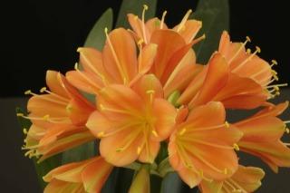 3CxcyrtanthifloraxshortleafedorangeCminiata