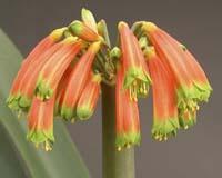 C-gardenii