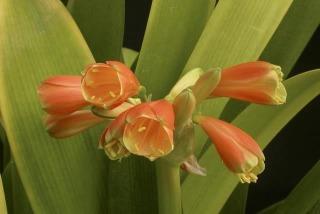 CminiataxCcaulescens