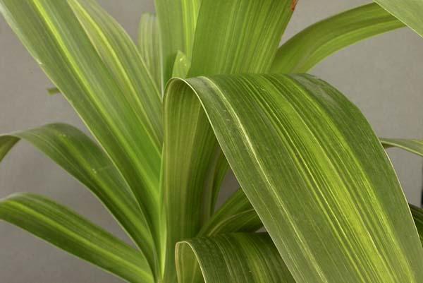 aa.striata variegation