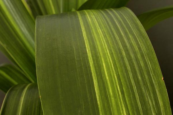 ac.striata variegation