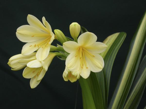 ae. Laurens's yellow variegate (striata)