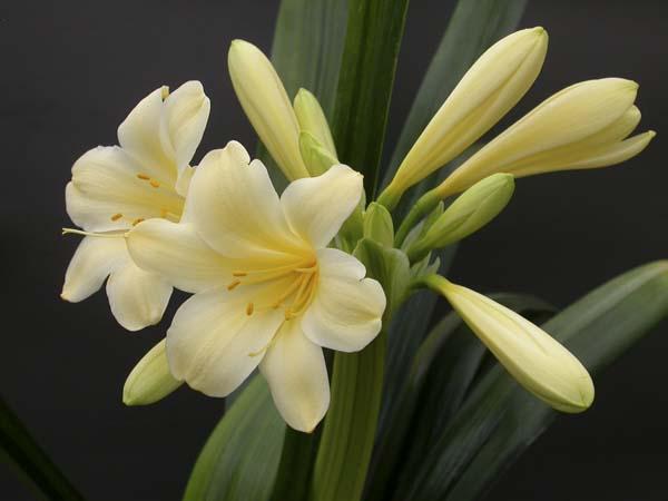 ag. Laurens's cream (weak)variegate