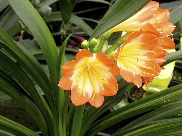 aj.Laurens's variegated multipetal (striata)
