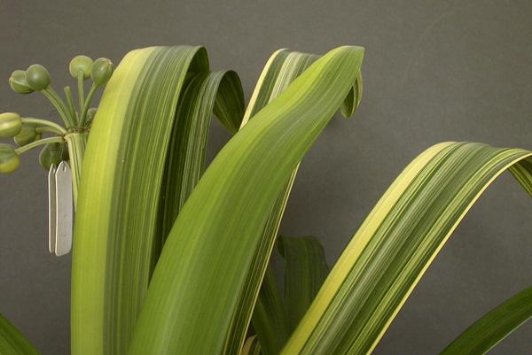 am. variegated Miniata x Gardenii (striata) closeup