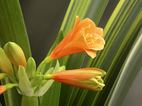 an. Laurens's variegated Miniata x Gardenii (striata)
