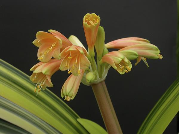 ao. Lauren's variegated Minata x Gardenii (striata)