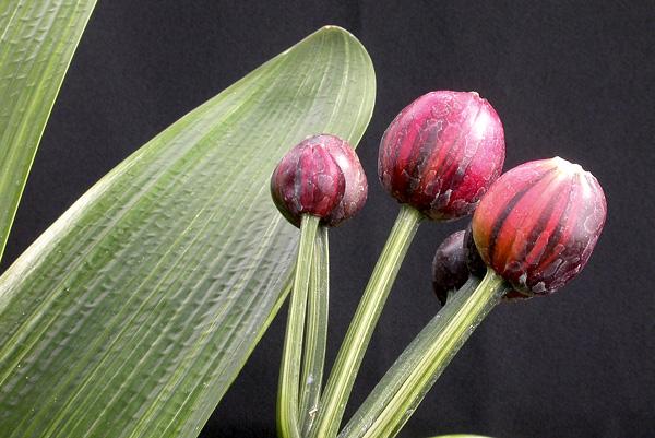 ap. Laurens's  Chinese variegate (striata)