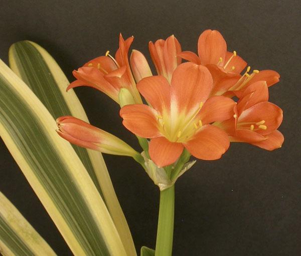au.  A fukurin variegate in flower