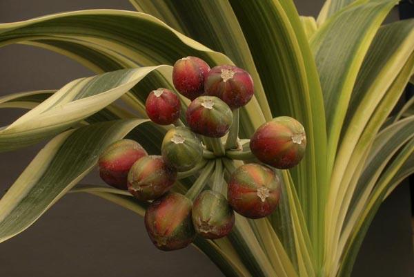 ax. Laurens's  fukurin & mature berries