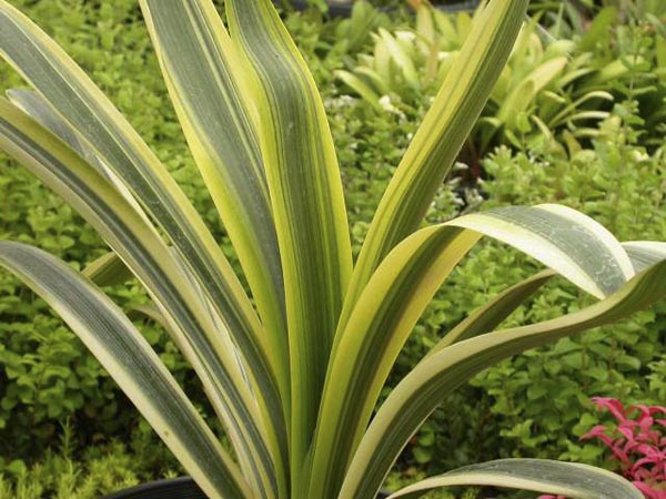ay. Laurens's fukurkin variegate