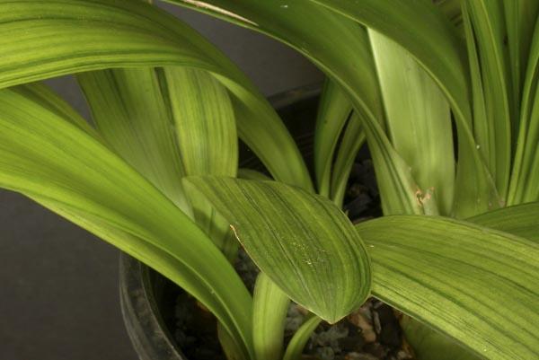 bd. Negishi variegation 'Kooga' (cultivar name)
