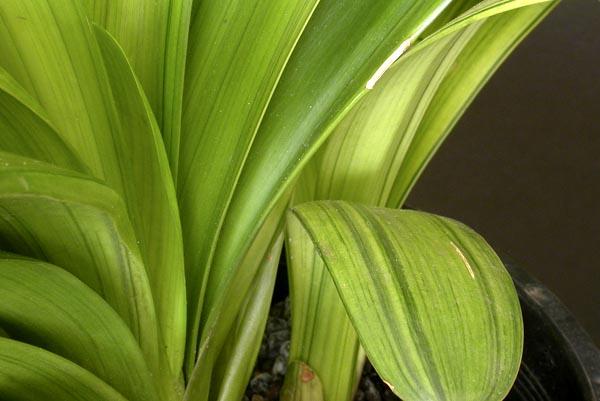 be. Negishi variegation 'Kooga'