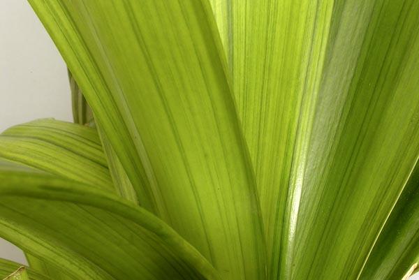 bg. Negishi variegation 'Kooga'