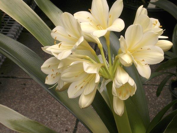 bk. cream akebono variegate