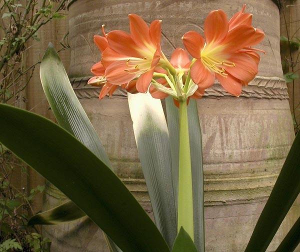 bn. Nakamura's akebono variegate