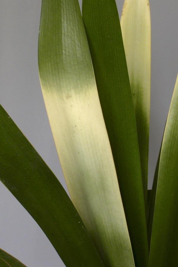 bo. Akebono variegate close-up