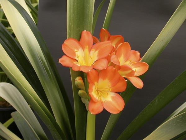bp. orange akebono variegate