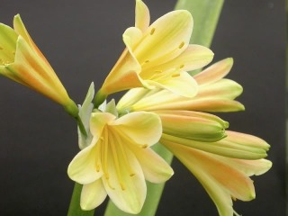 maybeCminiataxCyrtanthiflora