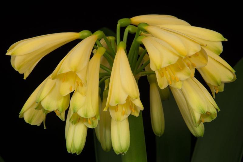 'Aurea' x yellow caulescens