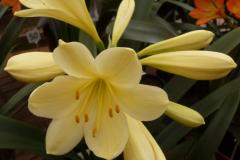 Aurea x Nakamura Yellow - Brenda Girdlestone & John Mackenzie