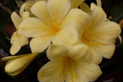 Flowerdale yellow - Brenda Girdlestone & John Mackenzie