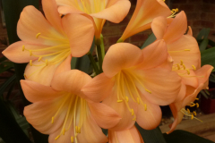 Marten peach - Brenda Girdlestone & John Mackenzie