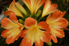 Tri-colour - Brenda Girdlestone & John Mackenzie