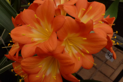 Orange variegate - Brenda Girdlestone & John Mackenzie
