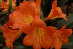 (Orange x yellow hybrid) x Best yellow - Brenda Girdlestone & John Mackenzie