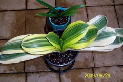 BL-Margin-Variegated-hybrid-