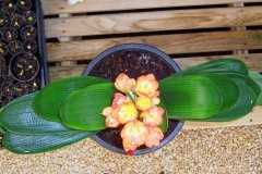 Chinese-Short-Leaf-Duan-Ye-hybrid