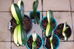 Mandarin-Duck-Variegates-seedlings-Gp-1