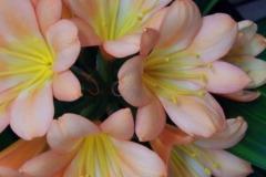 Variegated-Pink-hybrid-Oct-6